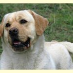 Integrity Farm Labrador Retriever Pups